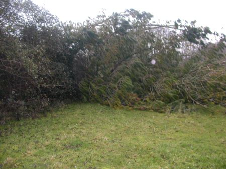 The trees that have caused damage. Pic: stockbridgefc.wordpress.com